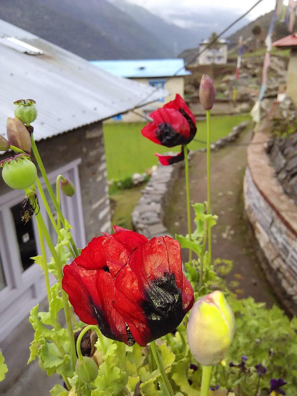 Opium poppy seed and flower at Budhha lodge of Chaurikharka,Nepal