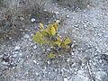 Opuntia microdysis (5716788200).jpg