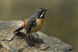 Orange-breasted Rock-Jumper - Natal - South-Africa S4E7033 (17233187652).jpg