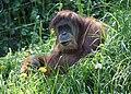 Orangutan2 CincinnatiZoo.jpg