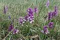 Orchideen-Wiese IMG 7522.JPG
