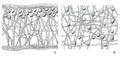 Organización de los talos heterómeros y homómeros en líquenes.png