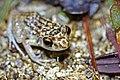 Oriente Mottled Frog (Eleutherodactylus simulans) (8572426388).jpg