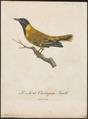 Oriolus larvatus - 1796-1808 - Print - Iconographia Zoologica - Special Collections University of Amsterdam - UBA01 IZ16400191.tif
