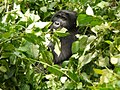 Oruzogo Mountain Gorilla (6734897711).jpg