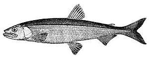 Smelt (fish)