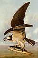 Osprey and Weakfish A10056.jpg