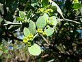 Osyris lanceolata, loof en blomme, d, Seringveld.jpg