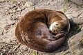 Otter SH-msu-2581.jpg