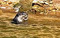 Otter by N A Nazeer.jpg