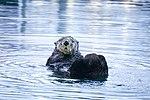 Otter in Seward, Alaska, April 2017.jpg