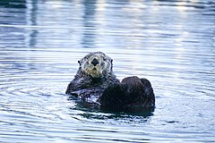 Otter in Seward, Alaska, April 2017.jpg