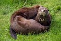 Otters at Chester Zoo 2.jpg