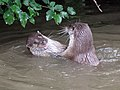 Otters at play 2 (2761806519).jpg