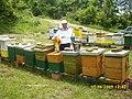 Pčele na lipi - panoramio.jpg