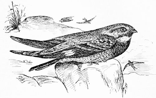 PSM V44 D321 The night hawk c virginianus.jpg