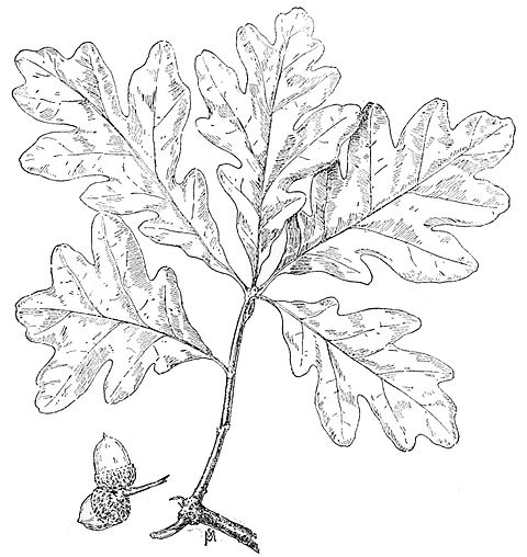 PSM V49 D819 White oak leaf.jpg