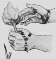 PSM V88 D133 Finger knife for egyptian corn.png