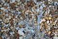 Pachypodium lealii saundersii 1zz.jpg
