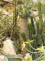 Pachypodium namaquanum - Palmengarten Frankfurt - DSC01753.JPG
