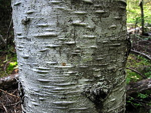 Abies amabilis - Pacific silver fir bark