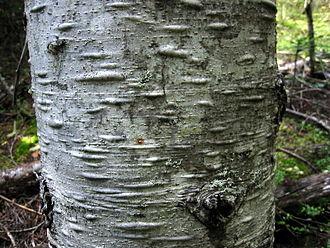 Abies amabilis - Pacific silver fir bark