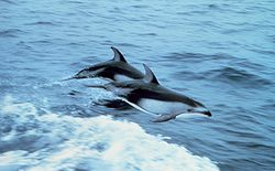Pacific White-Sided Dolphins breaching