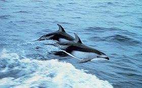 Weißstreifendelfine (Lagenorhynchus obliquidens)
