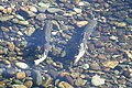 Pair of Chinook salmon.jpg