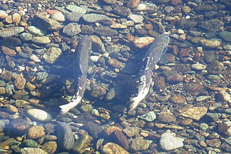 New Melones Dam - A pair of Chinook salmon in the Stanislaus River