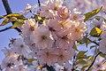 Pale pink sakura flowers in Kioto Park.jpg
