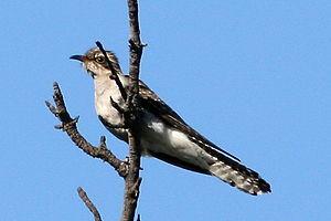 Pallid cuckoo - Immature pallid cuckoo (Cacomantis pallidus)
