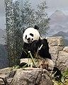 Panda lunch (7250847654).jpg