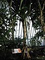 Pandanales - Pandanus tectorius var. australianus 1.jpg