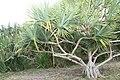 Pandanus utilis 26zz.jpg