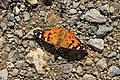 Panoramaweg trail to Bachsee - colourful butterfly (10955765073).jpg