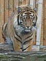 Panthera tigris sumatrae in captivity 05.JPG