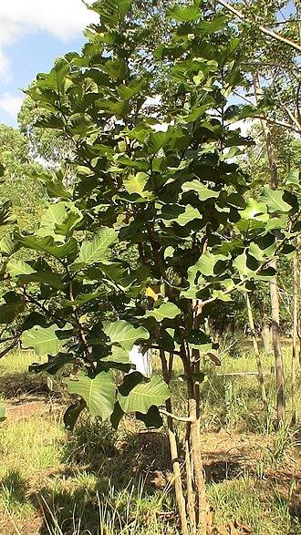 Coccoloba caracasana - Image: Papaturro