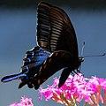 Papilio bianor.jpg