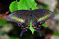 Papilio bianor kotoensis female back 20140501.jpg