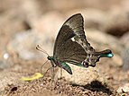 Papilio crino Melagiri TN IMG 6325.jpg