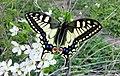 Papilio machaon Podkomorské lesy.jpg