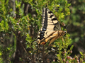 Papilio machaon on Monte Moneglia.png