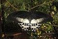 Papilio polymnestor – Blue Mormon 10.jpg
