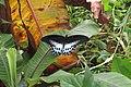 Papilio polymnestor Cramer, 1775 – Blue Mormon at Mayyil (5).jpg