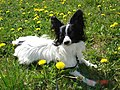 Papillon lying in the grass.jpg