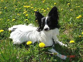 Toy dog - The papillon.