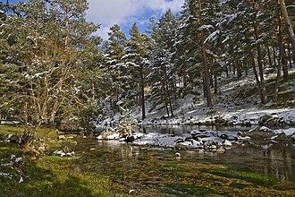 Navarredonda de Gredos - Scotch pine forest near the River Tormes.