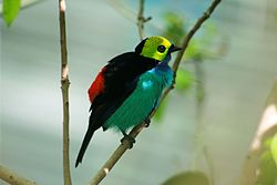 Paradise tanager at California Academy of Sciences.JPG