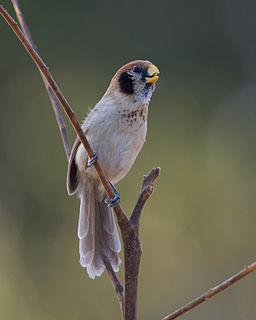 Spot-breasted parrotbill species of bird